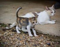 Chaton mignon et jouer de chat de mère Photographie stock