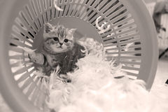 Chaton mignon et plumes blanches Images stock