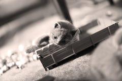 Chaton mignon les Anglais Shorthair avec des jouets Photographie stock libre de droits