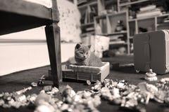 Chaton mignon les Anglais Shorthair avec des jouets Images libres de droits