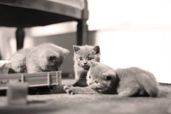 Chaton mignon les Anglais Shorthair avec des jouets Photo libre de droits
