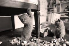 Chaton mignon les Anglais Shorthair avec des jouets Photographie stock