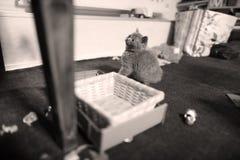 Chaton mignon les Anglais Shorthair avec des jouets Photos stock