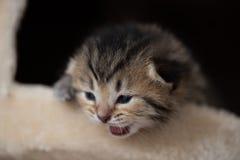 Chaton mignon sur la tour de chat Photos stock