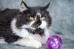 Chaton moyen blanc et noir pelucheux de cheveux avec le jouet de chat Photos stock