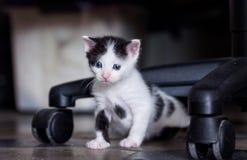 Chaton noir et blanc Photo libre de droits