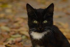 Chaton noir et blanc avec les yeux verts photos stock