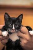Chaton noir et blanc drôle Photo stock