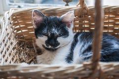 Chaton noir et blanc, se reposant dans le panier tissé photos stock