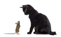 Chaton noir reposant et regardant une souris le reniflant Photographie stock