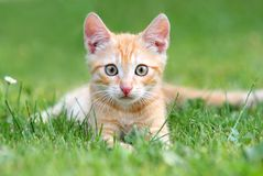 Chaton orange image stock
