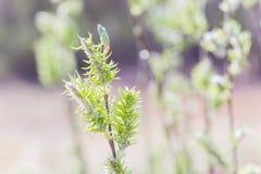 Chaton ou ament fleurissant femelle de floraison levé d'inflorescences sur le saule blanc alba de Salix en premier ressort avant  Photographie stock libre de droits