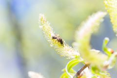 Chaton ou ament fleurissant masculin de floraison levé d'inflorescences sur un Salix alba (saule blanc) en premier ressort avant  Photographie stock libre de droits