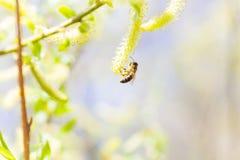 Chaton ou ament fleurissant masculin de floraison levé d'inflorescences sur un saule blanc alba de Salix en premier ressort avant Photographie stock