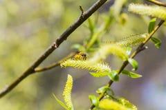 Chaton ou ament fleurissant masculin de floraison levé d'inflorescences sur un saule blanc alba de Salix en premier ressort avant Photos libres de droits