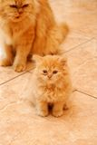 Chaton persan. Photo stock