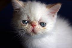 Chaton persan blanc Photographie stock