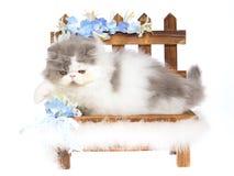 Chaton persan bleu et blanc sur le bnehc en bois Photos libres de droits