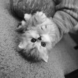Chaton persan noir et blanc dans le jeu de mains photos libres de droits