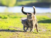chaton rayé mignon marchant ensemble dans une étreinte sur un gree Photo stock