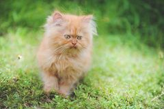 Chaton rouge Photo stock