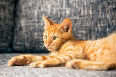 Chaton rouge Photographie stock