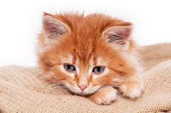 Chaton rouge d'isolement sur un fond blanc photographie stock