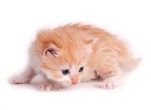 Chaton rouge d'isolement sur un fond blanc images stock