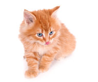 Chaton rouge d'isolement sur un fond blanc image stock