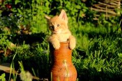 Chaton rouge dans le krinka Image libre de droits