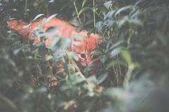 Chaton rouge mignon dans l'herbe Photo libre de droits