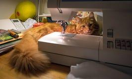 Chaton rouge mignon de Maine Coon image stock