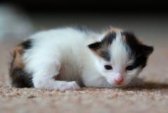 Chaton rouge nouveau-né Images libres de droits