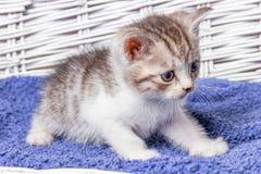 Chaton se reposant dans un panier Peu chatons dans un panier avec une serviette photographie stock libre de droits