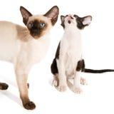 Chaton siamois noir et blanc avec le chat aigu Images libres de droits