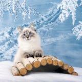 Chaton sibérien dans la neige Photographie stock libre de droits