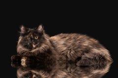 Chaton sibérien de tortue sur le fond noir Images stock