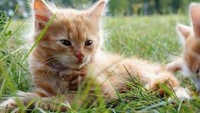 Chaton sur l'herbe verte banque de vidéos
