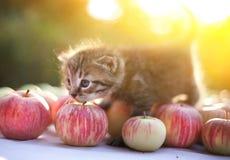 Chaton sur la récolte de pommes d'automne extérieure photographie stock