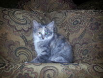 Chaton sur Tan Paisley Couch Photo stock