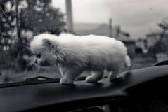 Chaton triste blanc au tableau de bord de voiture images stock