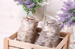 Chatons écossais se reposant dans le tiroir et recherchant images stock