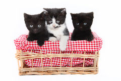 Chatons Photo libre de droits