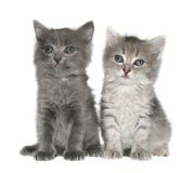 chatons Image stock