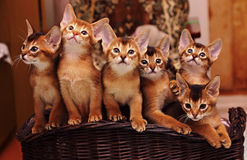 Chatons abyssiniens Images libres de droits