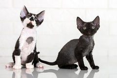 Chatons adorables de rex du Devon Images stock