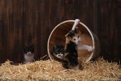 Chatons adorables mignons dans un arrangement de grange avec le foin Photo libre de droits