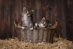 Chatons adorables mignons dans un arrangement de grange avec le foin Image libre de droits