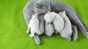 Chatons allaitant de la mère, race des Anglais Shorthair banque de vidéos