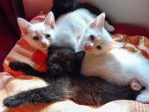 Chatons blancs et noirs Photographie stock libre de droits